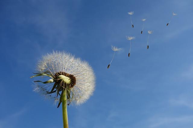 Erfülltes Leben führen - Bild von einer Pusteblume im Wind