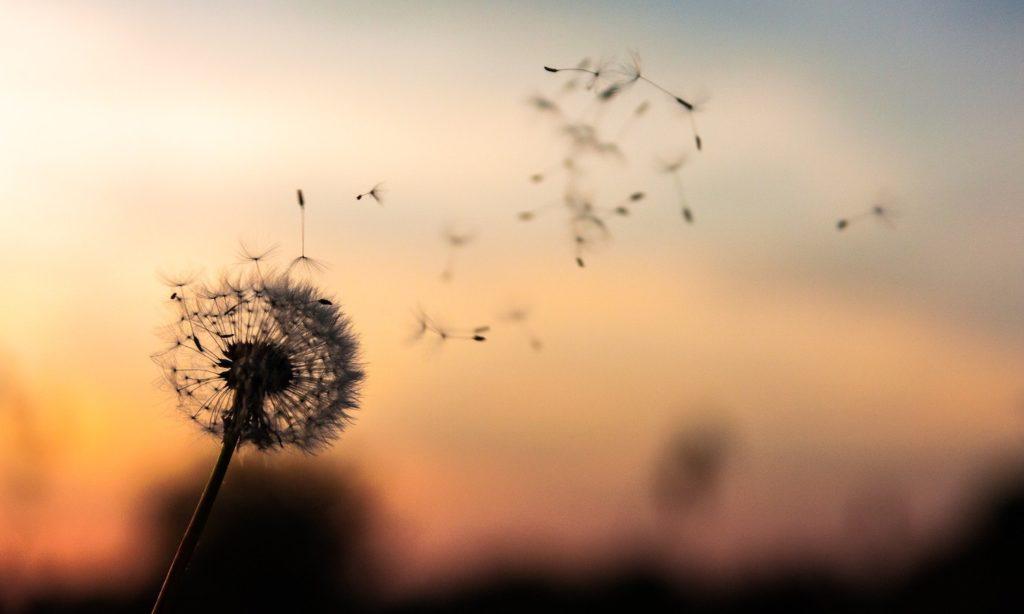 Leichtigkeit - Bild von Löwenzahn Blume